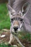 Den kvinnliga closeupen för röd känguru (Macropusrufusen) Arkivfoto