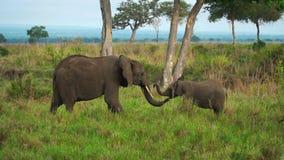 Den kvinnliga elefanten kommer till behandla som ett barngröngölingen i savannahen av Tanzania arkivfilmer