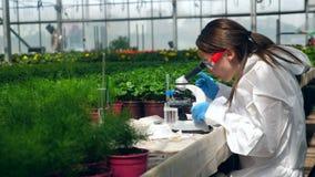 Den kvinnliga forskaren arbetar med ett mikroskop under växtforskning stock video