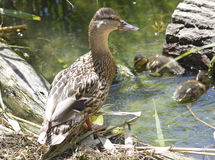 Den kvinnliga gräsandet med en barnaskara av ducklings. Royaltyfria Bilder