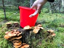 Den kvinnliga härliga handen tar en plast- röd hink från stubben med massor av läckra ätliga champinjoner i skogen royaltyfri foto