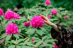 Den kvinnliga h?llande handen n?ra rhododendronblommor i a grarden royaltyfri bild