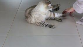 Den kvinnliga handen är den roliga leken med den härliga thailändska katten arkivfilmer