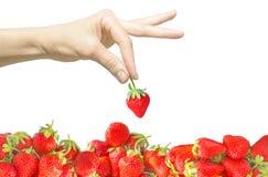 Den kvinnliga handen isolerade på vit bakgrund som rymmer ett enkelt bär i fingrar och den ljusa röda nya jordgubbenivån eller hö Arkivbild