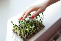 Den kvinnliga handen med röd manikyr trycker på nya och rå groddar av solrosen Sund mat, microgreens som hemma brukar arkivbild