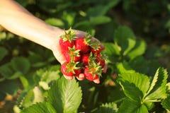 Den kvinnliga handen som rymmer nytt valda mogna jordgubbar, sol tände st royaltyfria foton