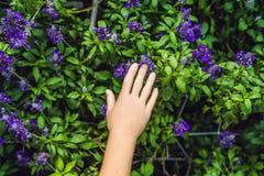 Den kvinnliga handen trycker på lavendel Lavendel blommar på solljus i a Arkivbilder