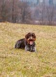 Den kvinnliga hunden grinar som en Cheshire Cat Bohemiska tråd-haired peka Griffon som ligger i gräs och väntar på signalen för j royaltyfri foto