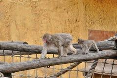 Den kvinnliga japanska macaquen med en gröngöling Royaltyfri Fotografi