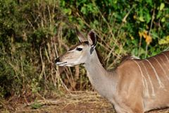 Den kvinnliga kuduen som ser vaken, hennes huvud, lyfts, och hon öron stickas arkivbild