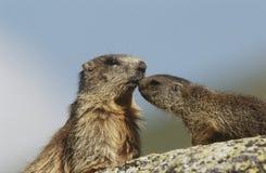 Den kvinnliga murmeldjuret med barn vaggar på Arkivfoton