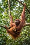 Den kvinnliga orangutanget med behandla som ett barn Arkivbild