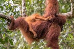 Den kvinnliga orangutanget med behandla som ett barn Arkivfoton