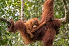 Den kvinnliga orangutanget med behandla som ett barn Royaltyfri Foto