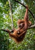 Den kvinnliga orangutanget med behandla som ett barn Arkivbilder