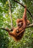 Den kvinnliga orangutanget med behandla som ett barn Royaltyfri Bild