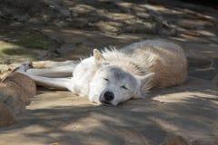Den kvinnliga polara vargen som räddades från fällan, för evigt lämnade förlamat Royaltyfri Foto