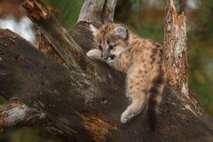 Den kvinnliga pumaKitten Puma concoloren dinglar benet Arkivfoton
