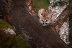 Den kvinnliga pumaKitten Puma concoloren ser för att hoppa Arkivfoton