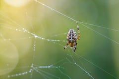 Den kvinnliga spindeln av trädgård-spindeln reparerar dess rengöringsduk med droppar av dagg Arkivfoton