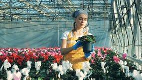 Den kvinnliga trädgårdsmästaren kontrollerar vit cyklamen som ser krukor stock video