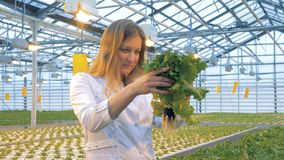 Den kvinnliga växthusarbetaren kontrollerar grönsallatgroddar i en kruka Sunt produktproduktionbegrepp stock video