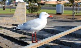 Läcker vitseagull som perching på en strykastång på bred flodmynning. royaltyfri fotografi