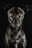 Den låga key studioståenden av en svart labrador mix gör Arkivfoto