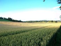 Den långa cornfielden Norr Northumberland, England UK Royaltyfri Bild