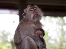 Den långa tailed macaquemodern som diar henne, behandla som ett barn Royaltyfri Fotografi