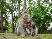 Den långa tailed macaquemodern som diar henne, behandla som ett barn Arkivbilder
