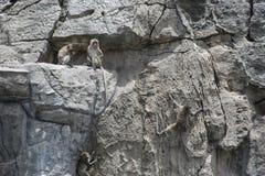 Den långa tailed macaquen, apor som klättrar och, sitter på ett vaggaberg royaltyfri bild