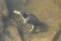 Den låsande fast sköldpaddan promenerar botten av sjön Arkivfoton