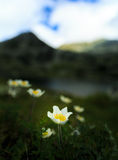 Den lösa anemonen blommar i fjällängarna Royaltyfri Bild