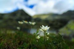 Den lösa anemonen blommar i fjällängarna Arkivfoto