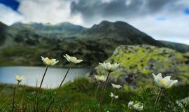 Den lösa anemonen blommar i fjällängarna Arkivbilder