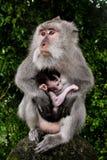 Den lösa apan med behandla som ett barn Royaltyfria Foton