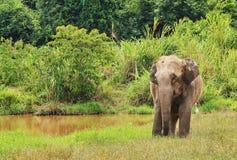 Den lösa asiatiska elefanten flyr in i skogen Arkivfoto