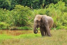 Den lösa asiatiska elefanten flyr in i skogen Arkivbilder