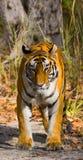 Den lösa Bengal tigern går på vägen i djungeln india 17 2010 för india för elefant för bandhavgarhbandhavgarthområde umaria för r Arkivfoto