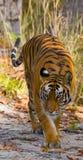 Den lösa Bengal tigern går på vägen i djungeln india 17 2010 för india för elefant för bandhavgarhbandhavgarthområde umaria för r Arkivfoton