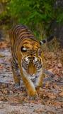 Den lösa Bengal tigern går på vägen i djungeln india 17 2010 för india för elefant för bandhavgarhbandhavgarthområde umaria för r Arkivbild