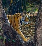 Den lösa Bengal tigern ser ut från buskarna i djungeln india 17 2010 för india för elefant för bandhavgarhbandhavgarthområde umar Arkivbild