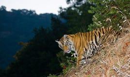Den lösa Bengal tigern ser ut från buskarna i djungeln india 17 2010 för india för elefant för bandhavgarhbandhavgarthområde umar Arkivfoto