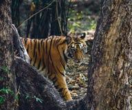 Den lösa Bengal tigern ser ut från buskarna i djungeln india 17 2010 för india för elefant för bandhavgarhbandhavgarthområde umar Royaltyfri Bild
