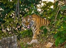 Den lösa Bengal tigern ser ut från buskarna i djungeln india 17 2010 för india för elefant för bandhavgarhbandhavgarthområde umar Royaltyfria Bilder