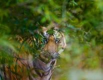 Den lösa Bengal tigern ser ut från buskarna i djungeln india 17 2010 för india för elefant för bandhavgarhbandhavgarthområde umar Fotografering för Bildbyråer