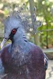 Den lösa blåa fågeln i den Jurong fågeln parkerar, Singapore arkivfoton