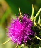 Den lösa blomman av mjölkar tistelsilybummarianum och bin Arkivfoton