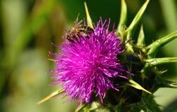 Den lösa blomman av mjölkar tistelsilybummarianum och bin Arkivbilder